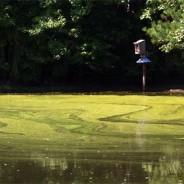 Groene laag op de vijver