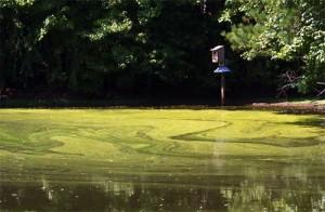 stuifmeel op water