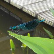 Weidebeekjuffer: compliment van de natuur voor de waterkwaliteit